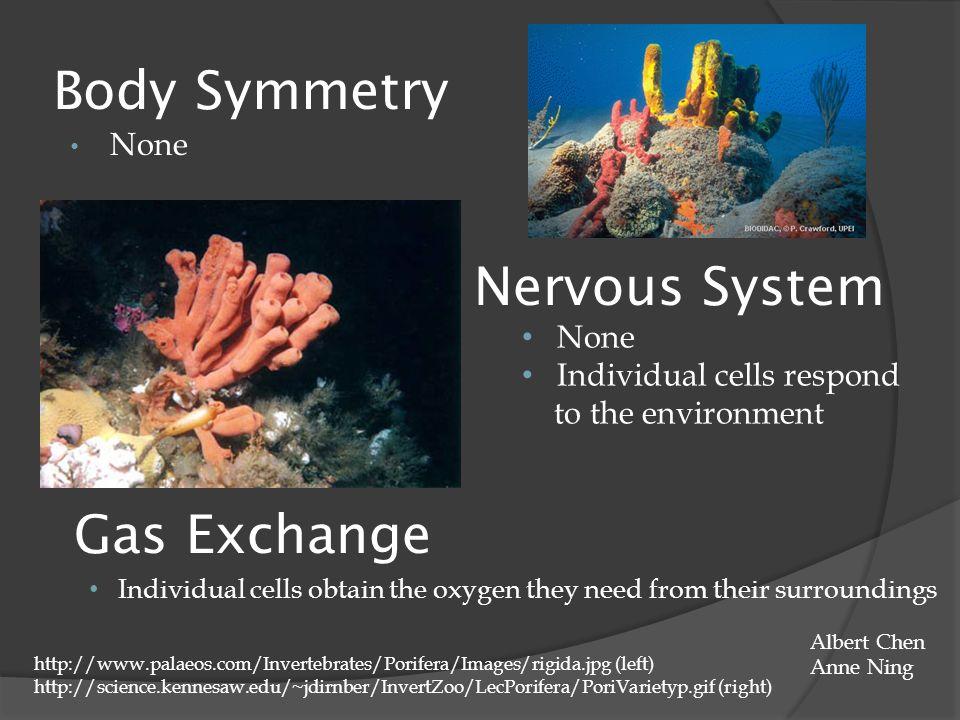 Body Symmetry None Nervous System None Individual cells respond to the environment http://www.palaeos.com/Invertebrates/Porifera/Images/rigida.jpg (le