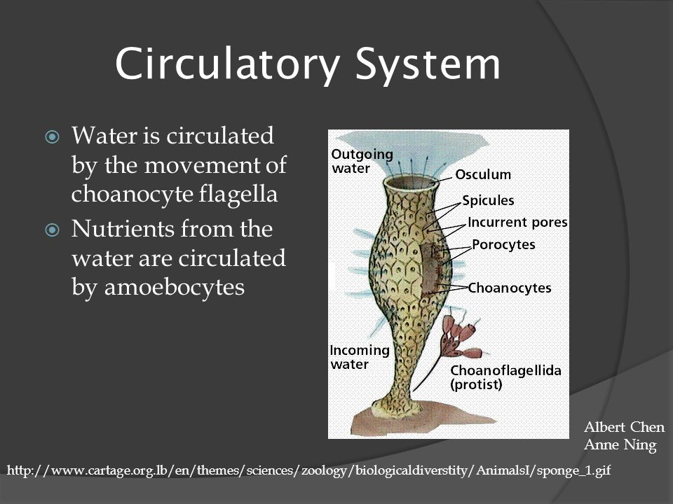 Circulatory System  Water is circulated by the movement of choanocyte flagella  Nutrients from the water are circulated by amoebocytes http://www.ca