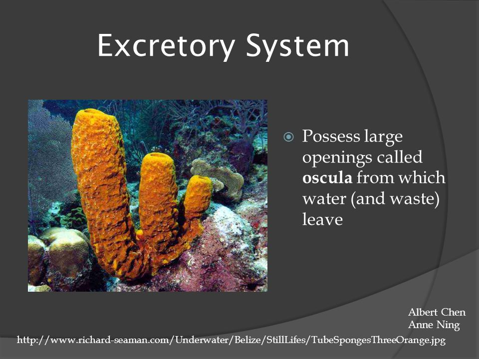 Excretory System  Possess large openings called oscula from which water (and waste) leave http://www.richard-seaman.com/Underwater/Belize/StillLifes/