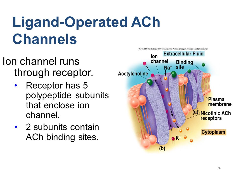 26 Ion channel runs through receptor. Receptor has 5 polypeptide subunits that enclose ion channel. 2 subunits contain ACh binding sites. Ligand-Opera