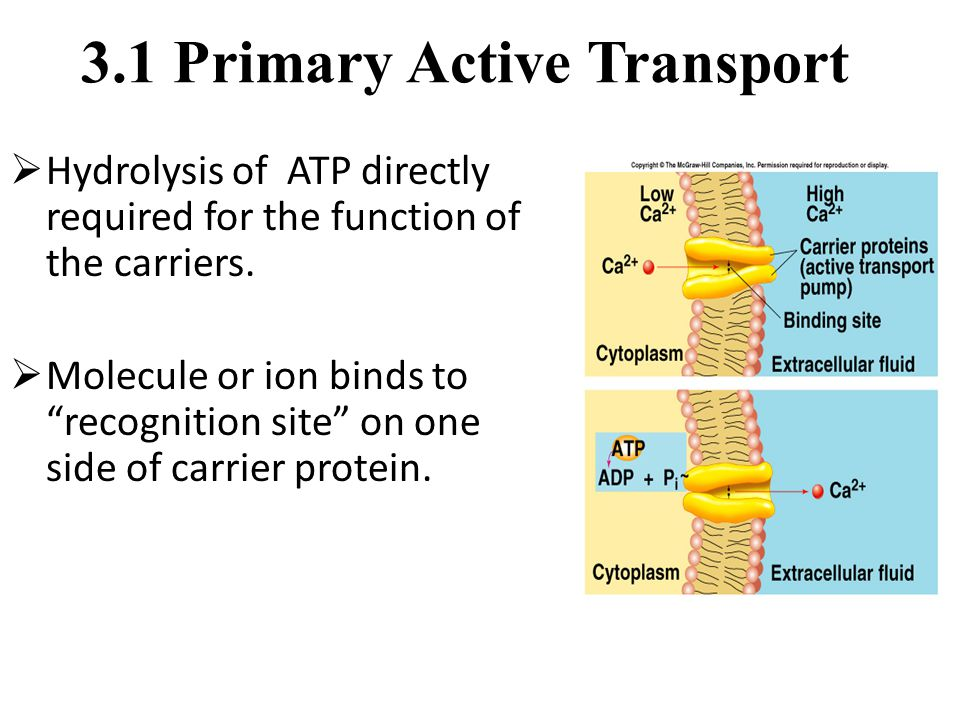 "3.1 Primary Active Transport  Hydrolysis of ATP directly required for the function of the carriers.  Molecule or ion binds to ""recognition site"" on"