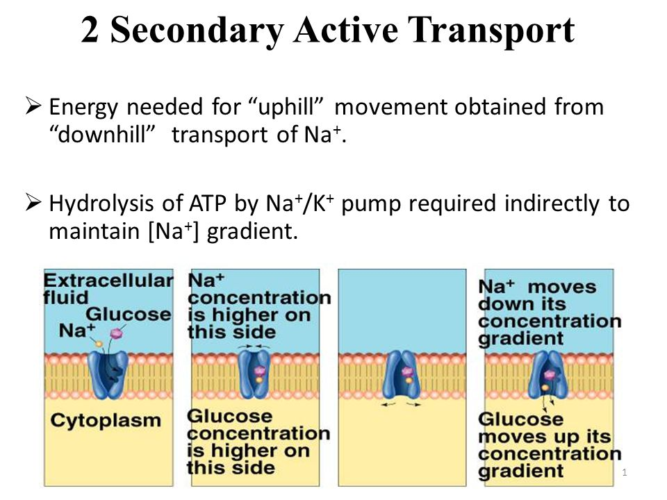 "41 2 Secondary Active Transport  Energy needed for ""uphill"" movement obtained from ""downhill"" transport of Na +.  Hydrolysis of ATP by Na + /K + pum"