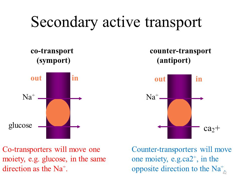 42 Secondary active transport Na + glucose Na + ca 2 + out in co-transport counter-transport (symport) (antiport) Co-transporters will move one moiety