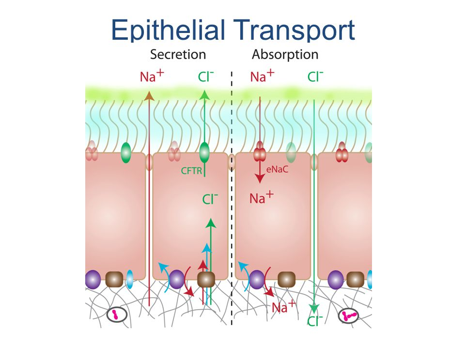 Epithelial Transport