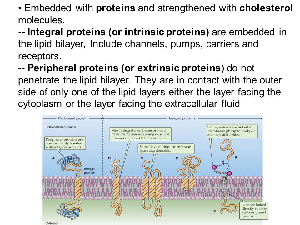Embedded with proteins and strengthened with cholesterol molecules. -- Integral proteins (or intrinsic proteins) are embedded in the lipid bilayer, In