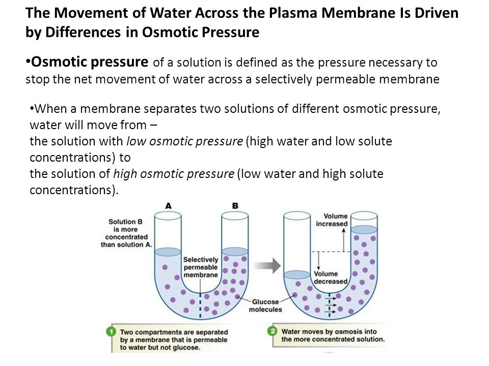 Osmotic pressure of a solution is defined as the pressure necessary to stop the net movement of water across a selectively permeable membrane When a m