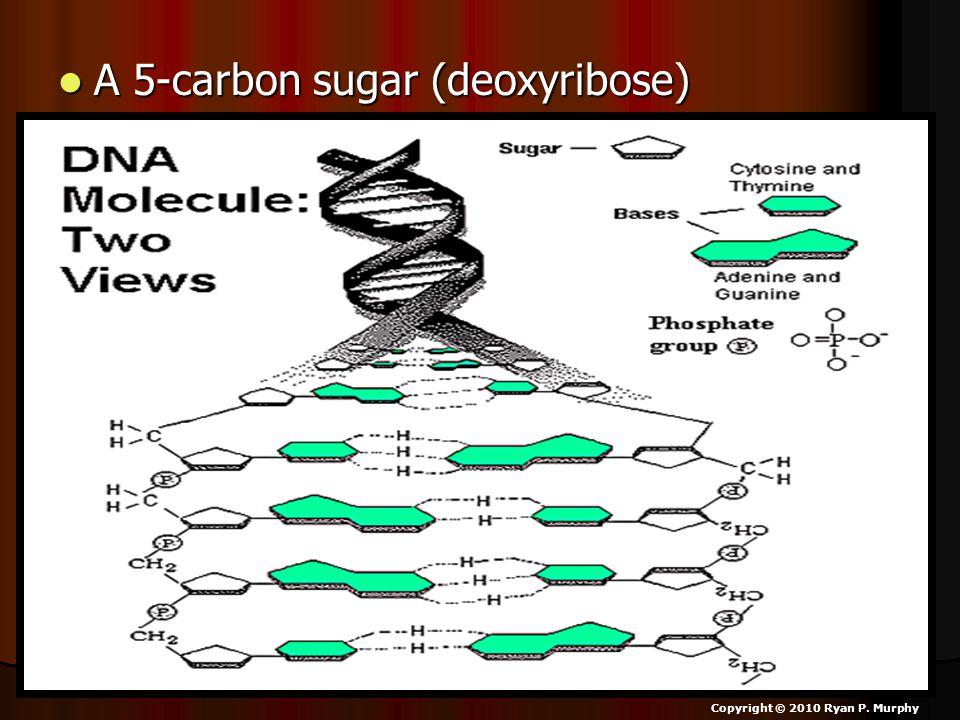 A 5-carbon sugar (deoxyribose) A 5-carbon sugar (deoxyribose) Copyright © 2010 Ryan P. Murphy
