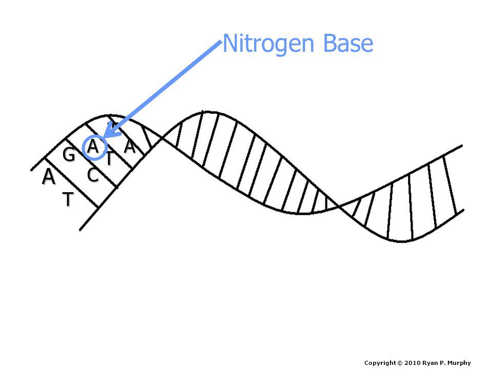 A AA G T C T T Nitrogen Base Copyright © 2010 Ryan P. Murphy