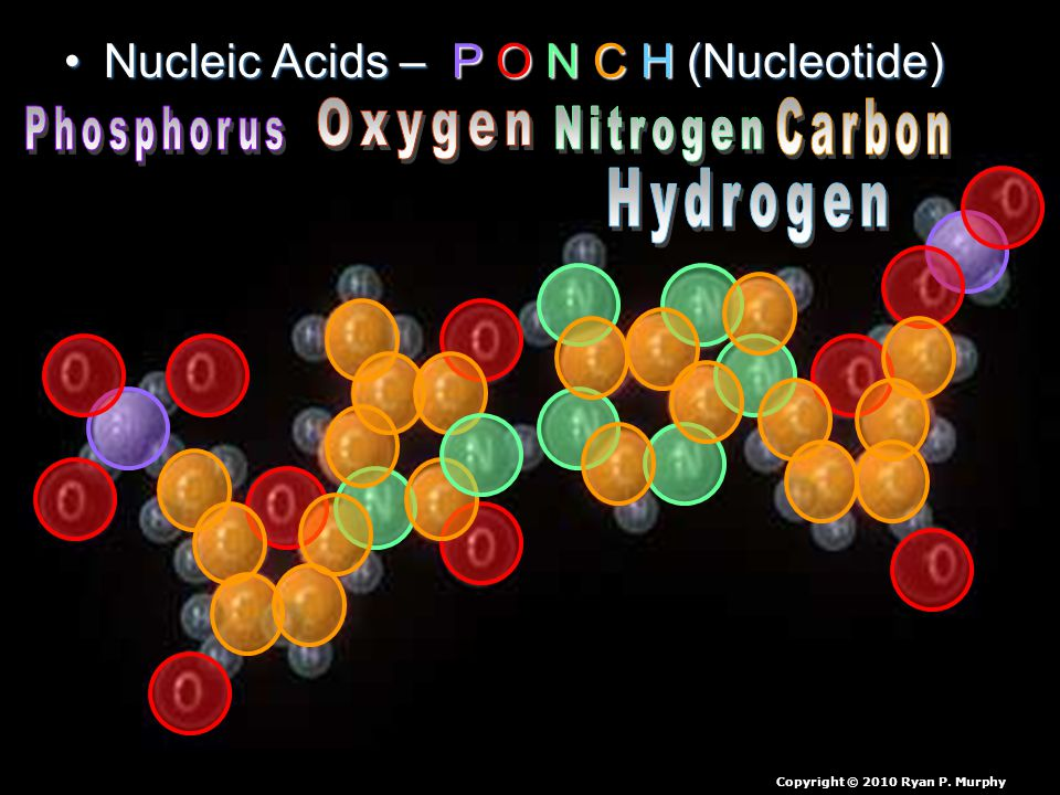 Nucleic Acids – P O N C H (Nucleotide)Nucleic Acids – P O N C H (Nucleotide) Copyright © 2010 Ryan P.