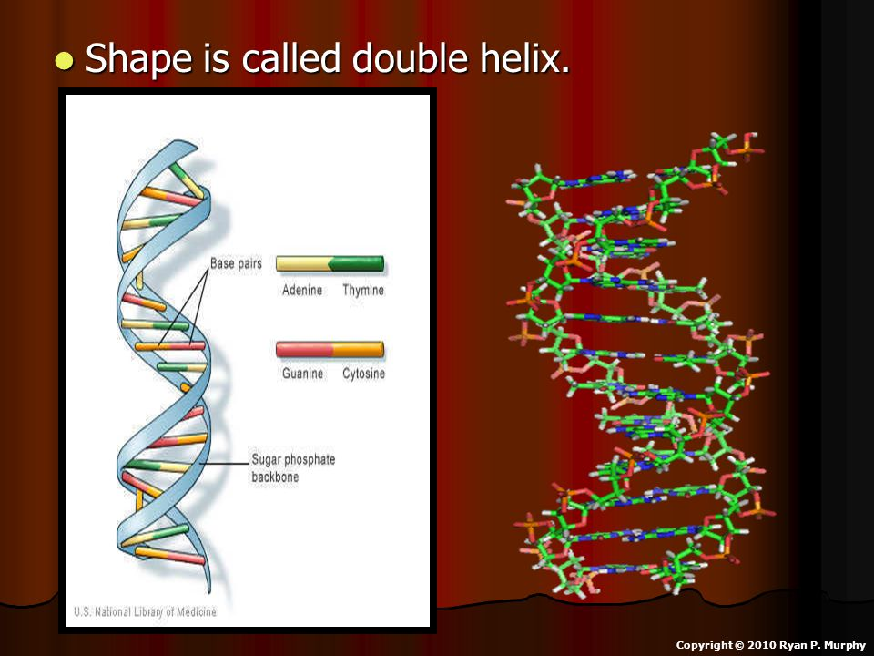 Shape is called double helix. Shape is called double helix. Copyright © 2010 Ryan P. Murphy