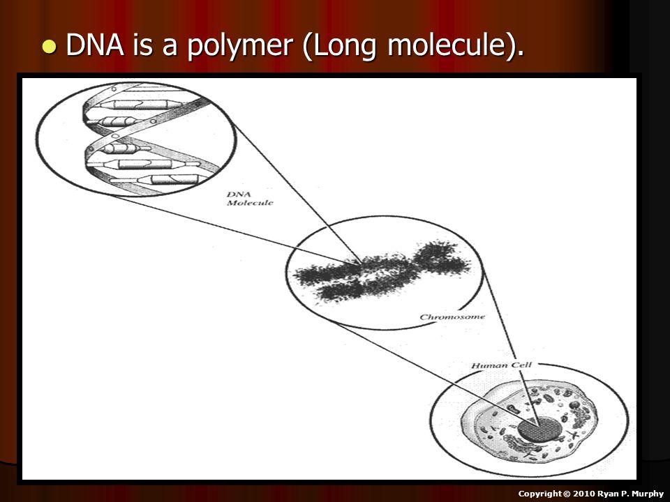 DNA is a polymer (Long molecule). DNA is a polymer (Long molecule). Copyright © 2010 Ryan P. Murphy