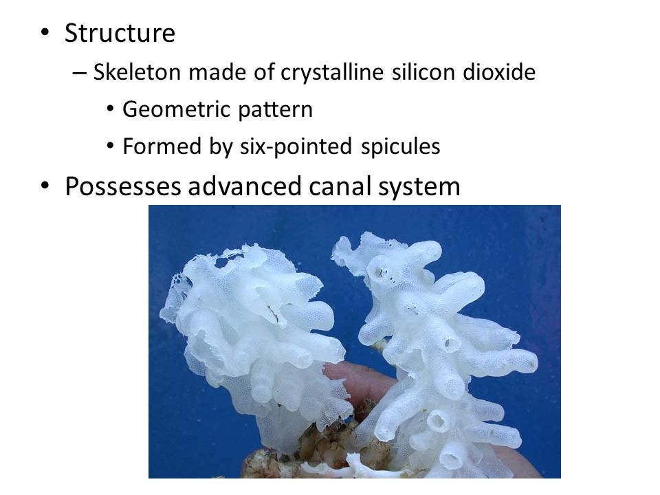 Structure – Skeleton made of crystalline silicon dioxide Geometric pattern Formed by six-pointed spicules Possesses advanced canal system