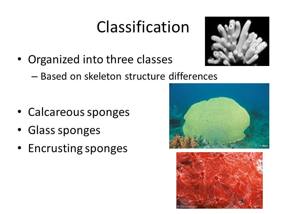 Calcareous Sponges Classification – Class Calcarea Size – Small, 4 inches or smaller Location – Shallow waters