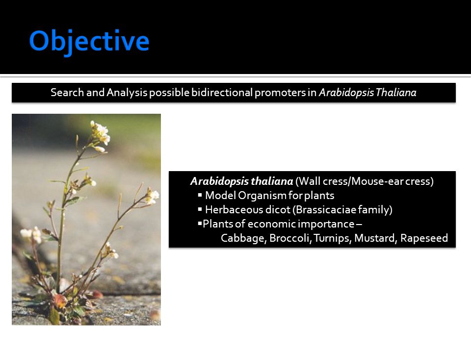 Search and Analysis possible bidirectional promoters in Arabidopsis Thaliana Arabidopsis thaliana (Wall cress/Mouse-ear cress)  Model Organism for plants  Herbaceous dicot (Brassicaciae family)  Plants of economic importance – Cabbage, Broccoli, Turnips, Mustard, Rapeseed Arabidopsis thaliana (Wall cress/Mouse-ear cress)  Model Organism for plants  Herbaceous dicot (Brassicaciae family)  Plants of economic importance – Cabbage, Broccoli, Turnips, Mustard, Rapeseed
