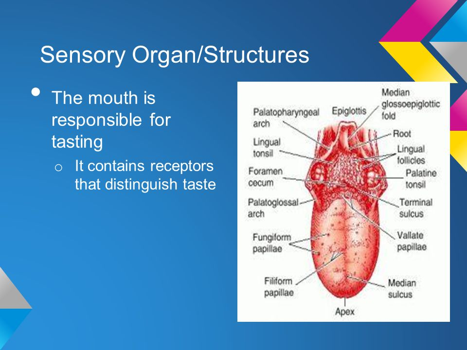 Sensory Organ/Structures The mouth is responsible for tasting o It contains receptors that distinguish taste