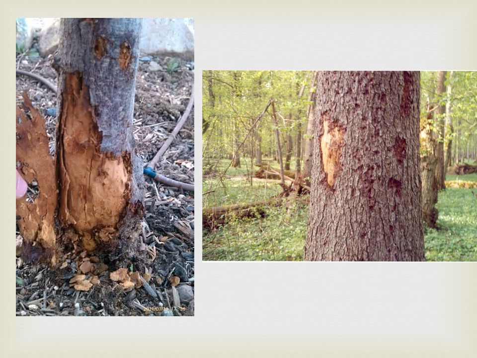   Physical injury to the trunk and crown – construction equipment can injure the above-ground portion of a tree by breaking branches, tearing the bark and wounding the trunk.