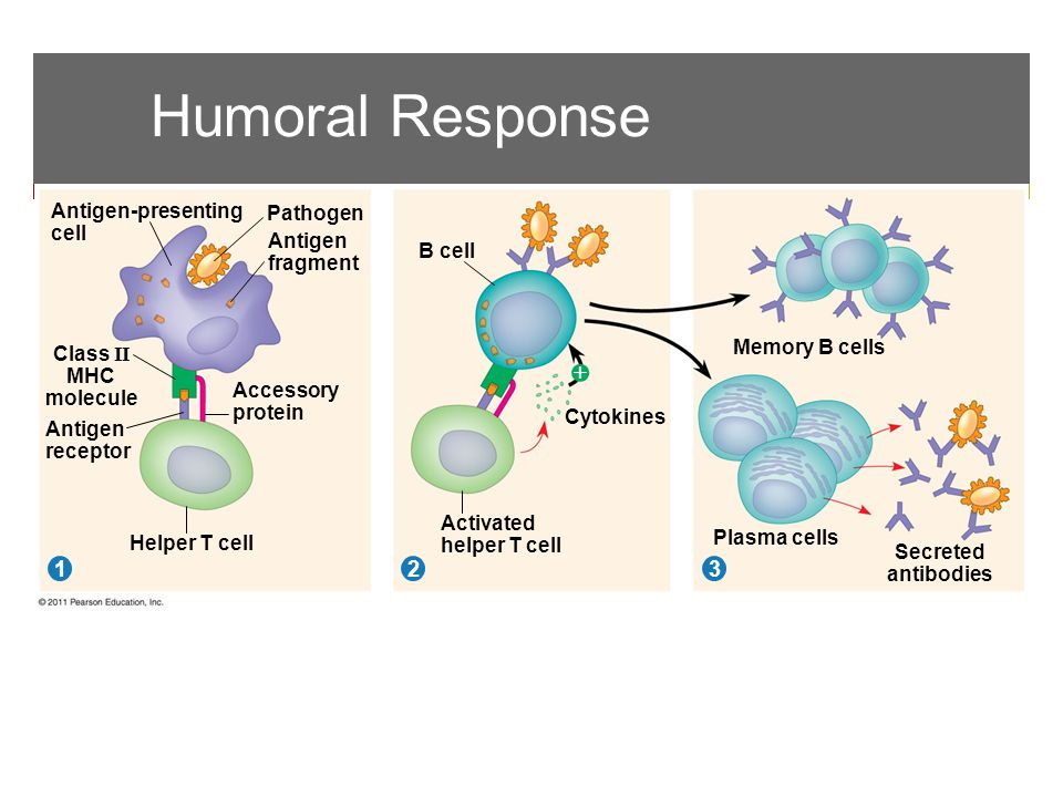 Humoral Response Pathogen 312 Antigen-presenting cell Antigen fragment Class II MHC molecule Antigen receptor Accessory protein Helper T cell B cell Cytokines Activated helper T cell Memory B cells Plasma cells Secreted antibodies 