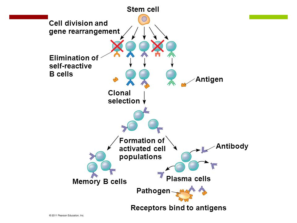 Figure 43.UN02 Stem cell Cell division and gene rearrangement Elimination of self-reactive B cells Clonal selection Antigen Antibody Formation of activated cell populations Memory B cells Plasma cells Pathogen Receptors bind to antigens
