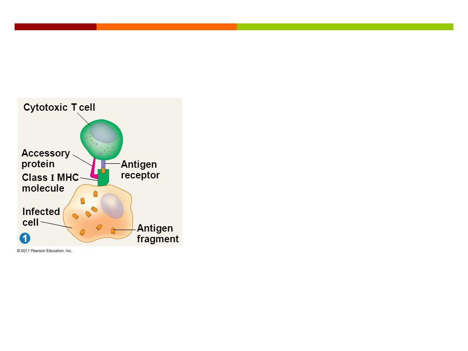 Figure 43.17-1 Cytotoxic T cell 1 Accessory protein Class I MHC molecule Infected cell Antigen receptor Antigen fragment