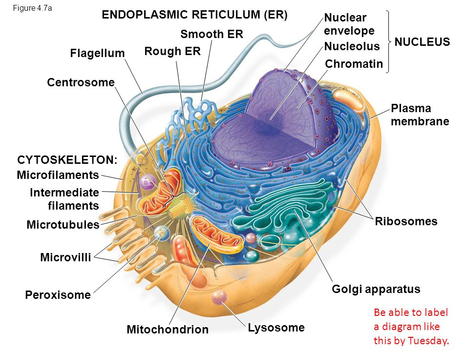 Figure 4.7b CYTO- SKELETON NUCLEUS Smooth endoplasmic reticulum Chloroplast Central vacuole Microfilaments Intermediate filaments Cell wall Microtubules Mitochondrion Peroxisome Golgi apparatus Plasmodesmata Plasma membrane Ribosomes Nucleolus Nuclear envelope Chromatin Wall of adjacent cell Rough endoplasmic reticulum Be able to label a diagram like this by Tuesday.