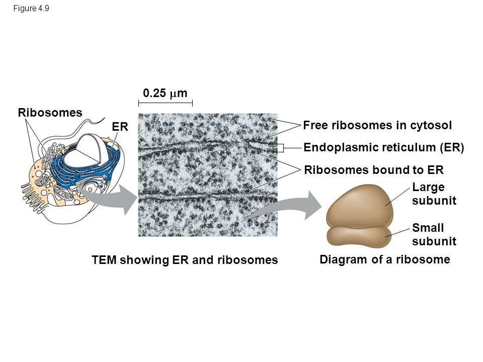 Figure 4.9 TEM showing ER and ribosomes Diagram of a ribosome Ribosomes bound to ER Free ribosomes in cytosol Endoplasmic reticulum (ER) Ribosomes ER 0.25  m Large subunit Small subunit