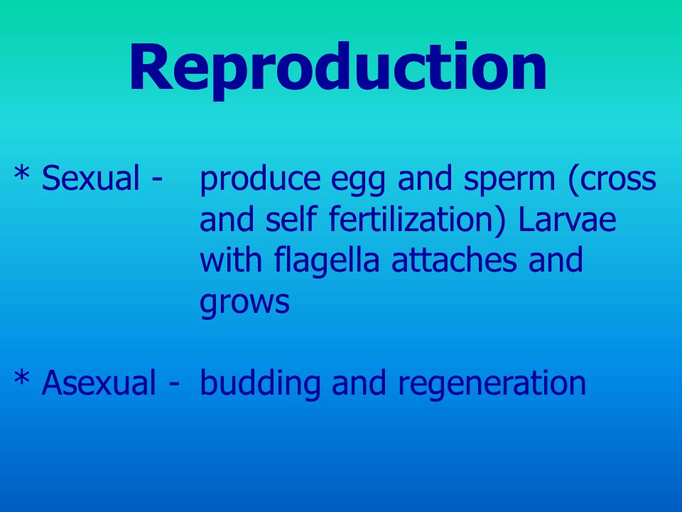 Reproduction * Sexual - produce egg and sperm (cross and self fertilization) Larvae with flagella attaches and grows * Asexual -budding and regeneration