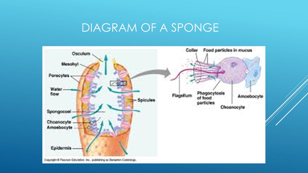 DIAGRAM OF A SPONGE