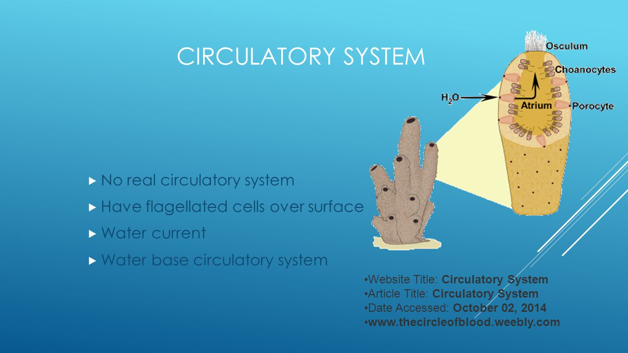 CIRCULATORY SYSTEM  No real circulatory system  Have flagellated cells over surface  Water current  Water base circulatory system Website Title: C