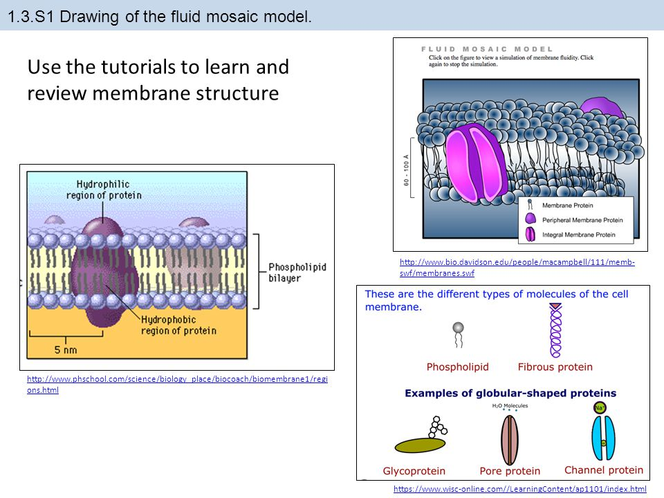 1.3.S1 Drawing of the fluid mosaic model. https://www.wisc-online.com//LearningContent/ap1101/index.html http://www.phschool.com/science/biology_place