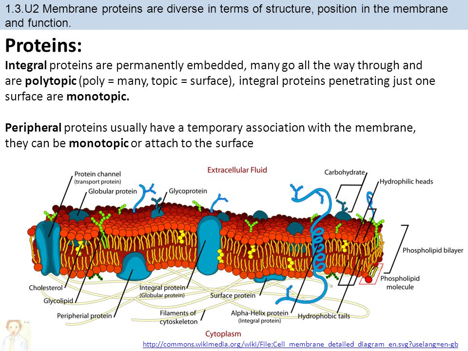 Proteins: Integral proteins are permanently embedded, many go all the way through and are polytopic (poly = many, topic = surface), integral proteins