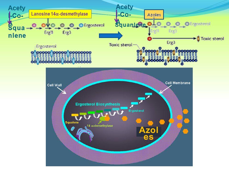 Acety l-Co- A Squa nlene Lanosine 14  -desmethylase Acety l-Co- A Squanlene Azol es