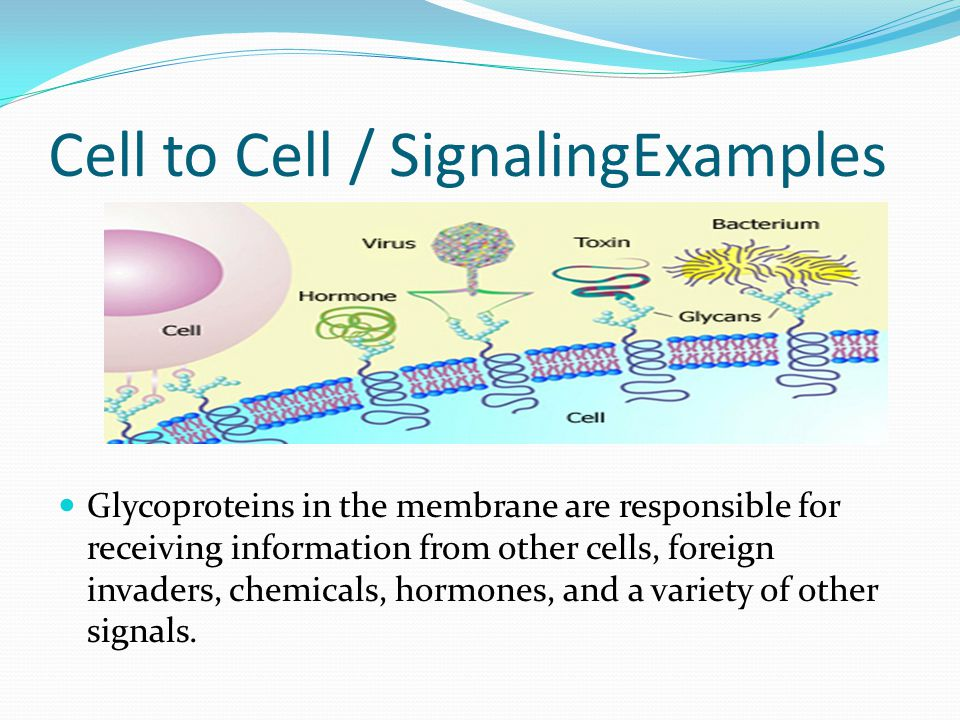 Cell to Cell / SignalingExamples Glycoproteins in the membrane are responsible for receiving information from other cells, foreign invaders, chemicals, hormones, and a variety of other signals.