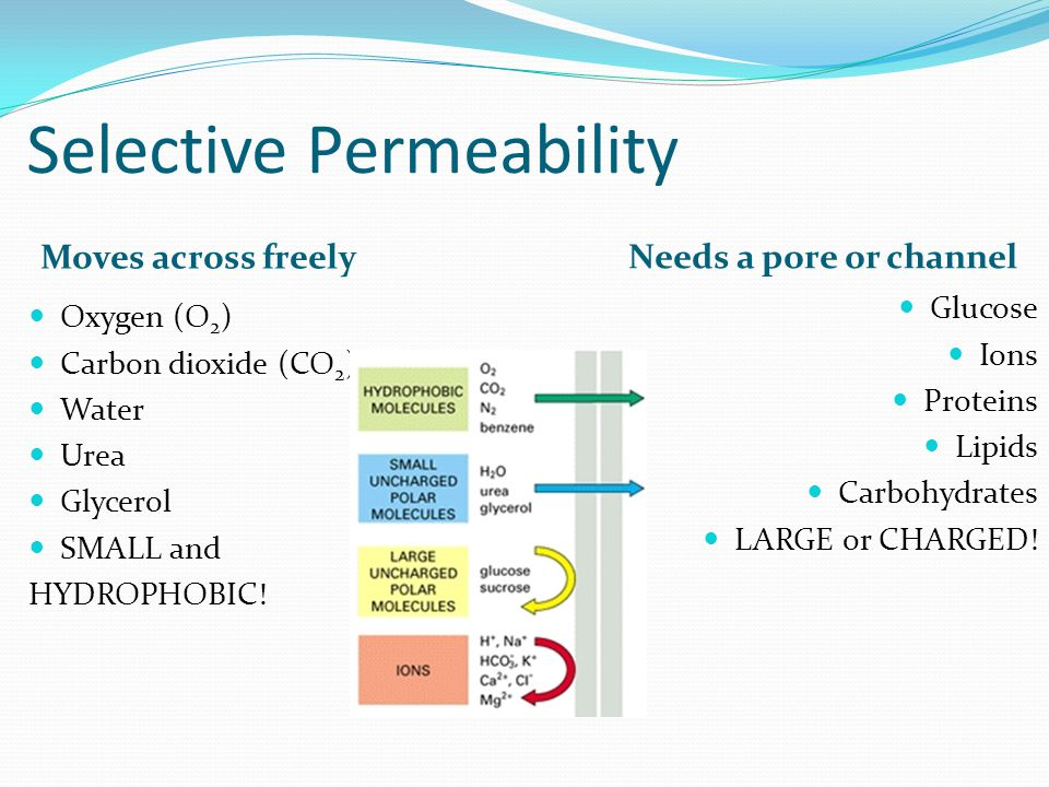 Selective Permeability Moves across freely Needs a pore or channel Oxygen (O 2 ) Carbon dioxide (CO 2 ) Water Urea Glycerol SMALL and HYDROPHOBIC.