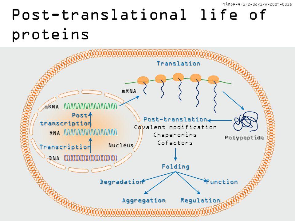 TÁMOP-4.1.2-08/1/A-2009-0011Transcription Post-transcription DNA RNA mRNA Translation mRNA Nucleus Polypeptide Post-translation Covalent modification Chaperonins Cofactors Folding DegradationFunction AggregationRegulation Post-translational life of proteins