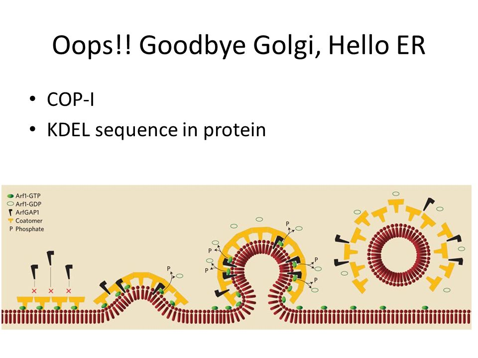 Oops!! Goodbye Golgi, Hello ER COP-I KDEL sequence in protein