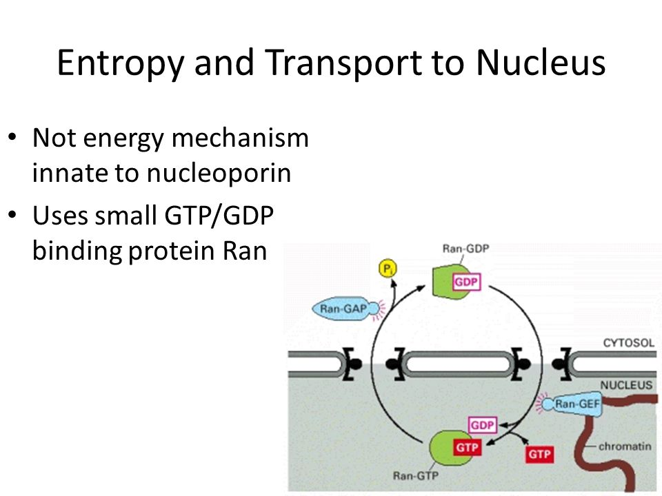 Entropy and Transport to Nucleus Not energy mechanism innate to nucleoporin Uses small GTP/GDP binding protein Ran