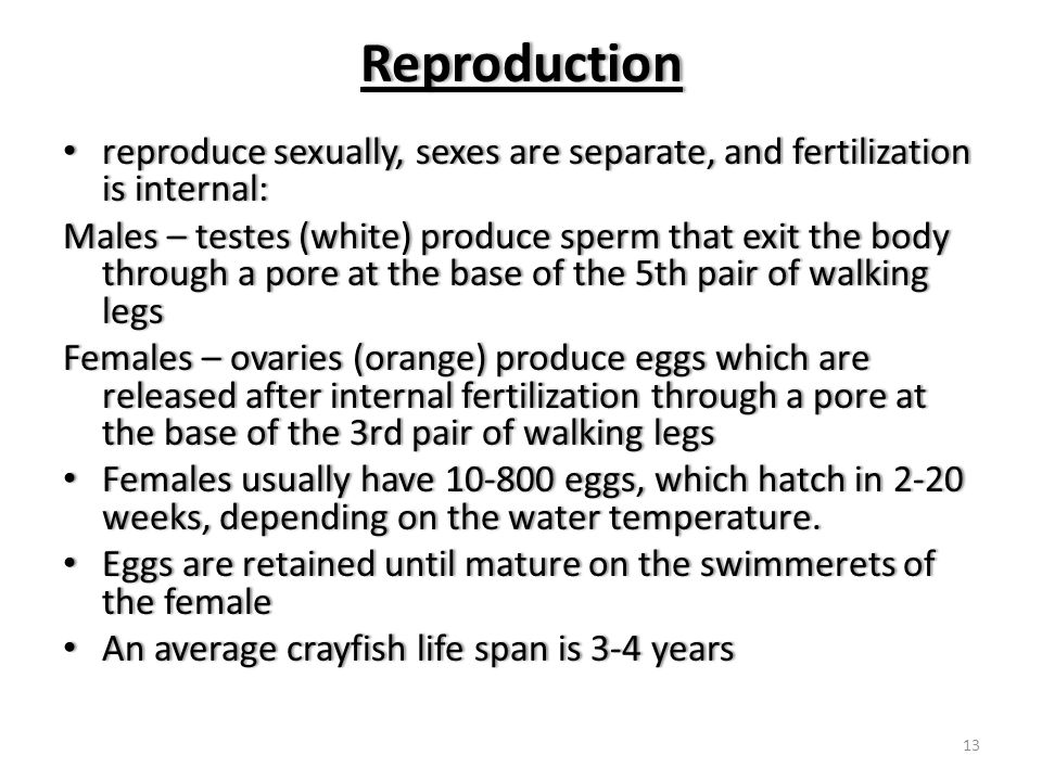 Reproduction reproduce sexually, sexes are separate, and fertilization is internal: reproduce sexually, sexes are separate, and fertilization is internal: Males – testes (white) produce sperm that exit the body through a pore at the base of the 5th pair of walking legs Females – ovaries (orange) produce eggs which are released after internal fertilization through a pore at the base of the 3rd pair of walking legs Females usually have 10-800 eggs, which hatch in 2-20 weeks, depending on the water temperature.