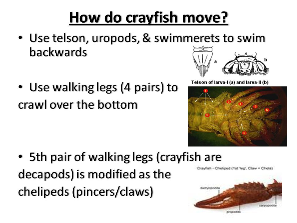 How do crayfish move How do crayfish move.