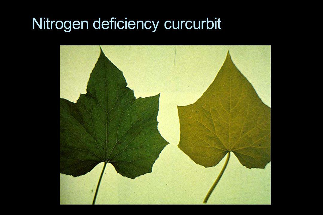 Nitrogen deficiency curcurbit