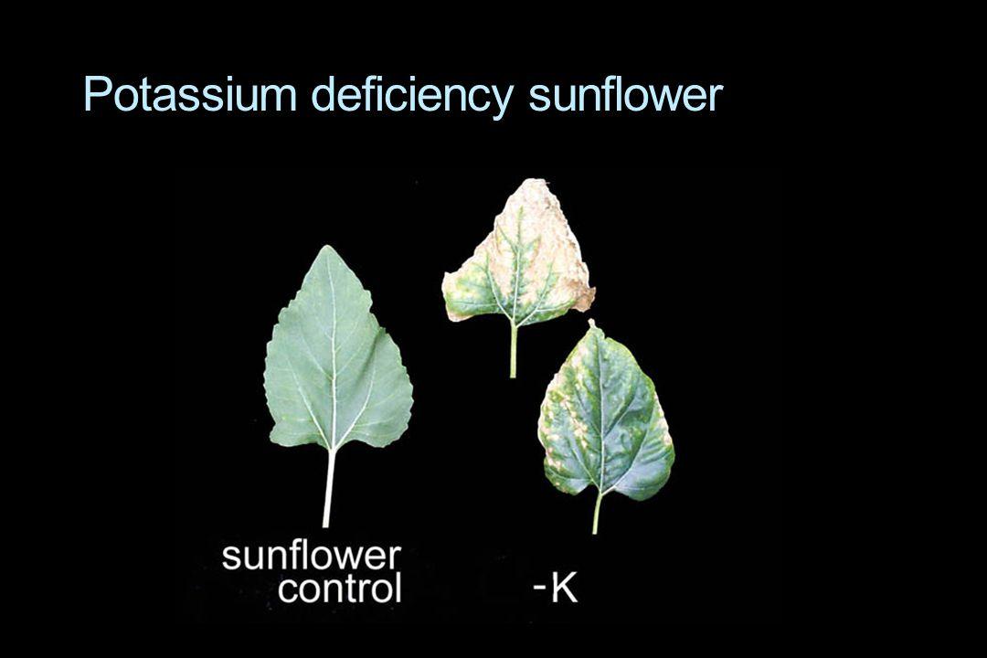Potassium deficiency sunflower