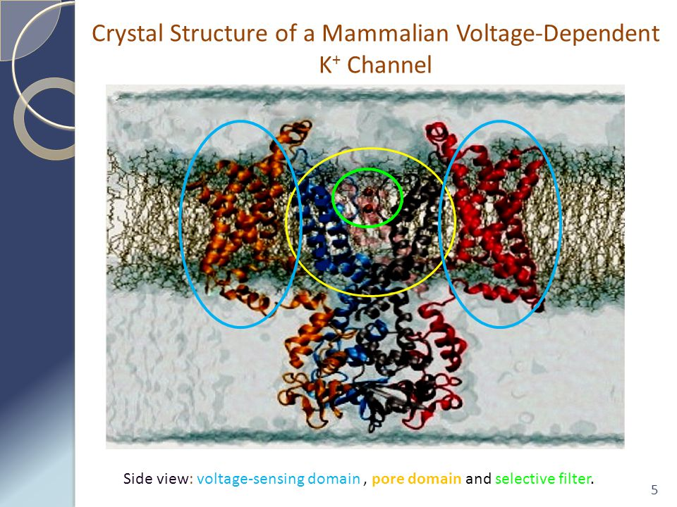 5 Side view: voltage-sensing domain, pore domain and selective filter.