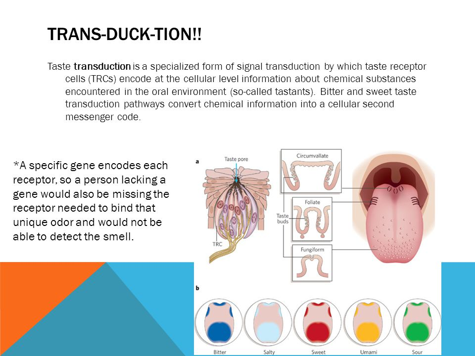 TRANS-DUCK-TION!! Taste transduction is a specialized form of signal transduction by which taste receptor cells (TRCs) encode at the cellular level in