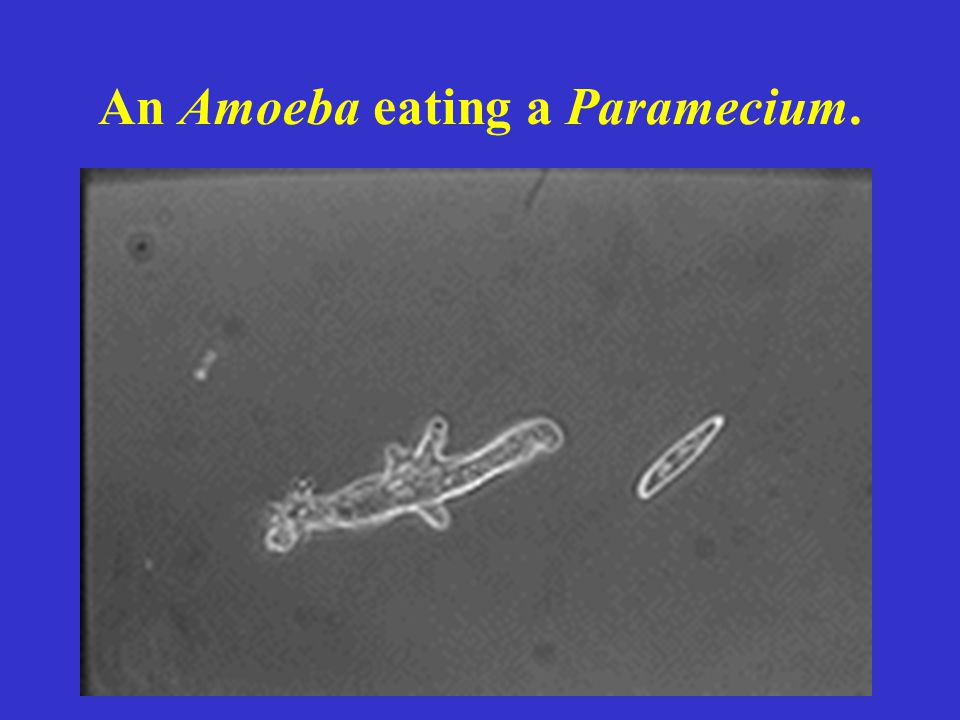 An Amoeba eating a Paramecium.