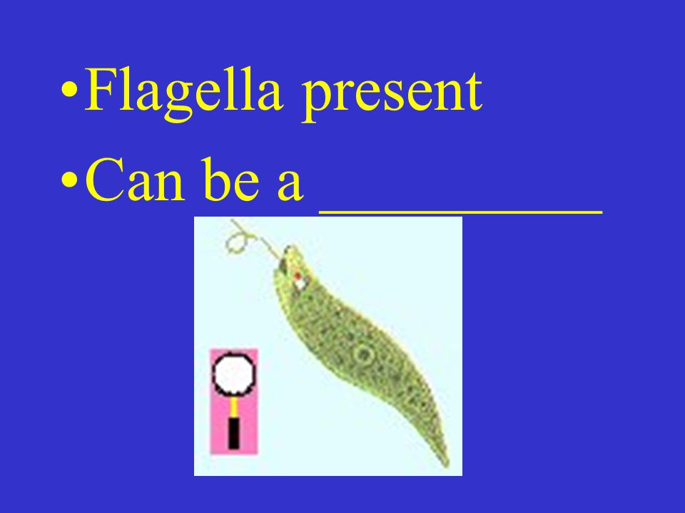 Flagella present Can be a _________