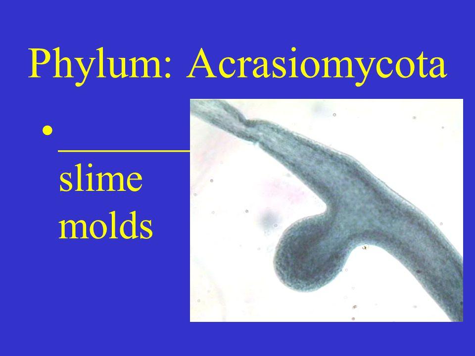 Phylum: Acrasiomycota _______ slime molds