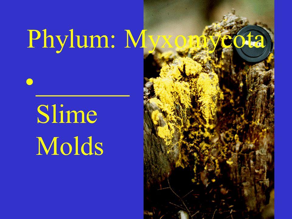 Phylum: Myxomycota _______ Slime Molds