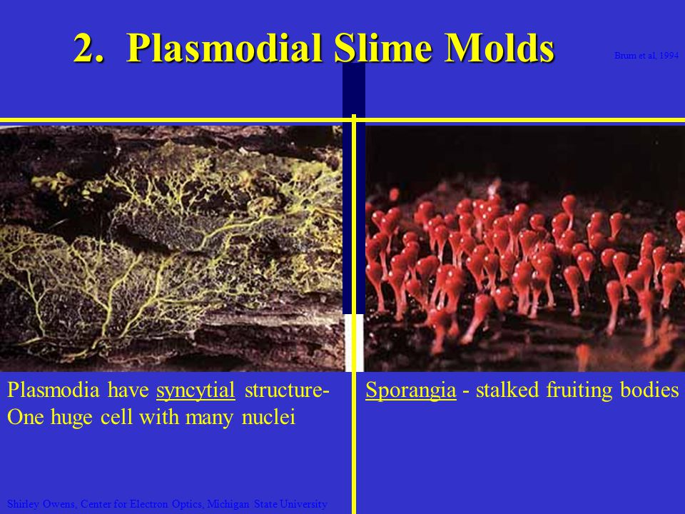 Brum et al, 1994 2. Plasmodial Slime Molds Sporangia - stalked fruiting bodies Shirley Owens, Center for Electron Optics, Michigan State University Pl