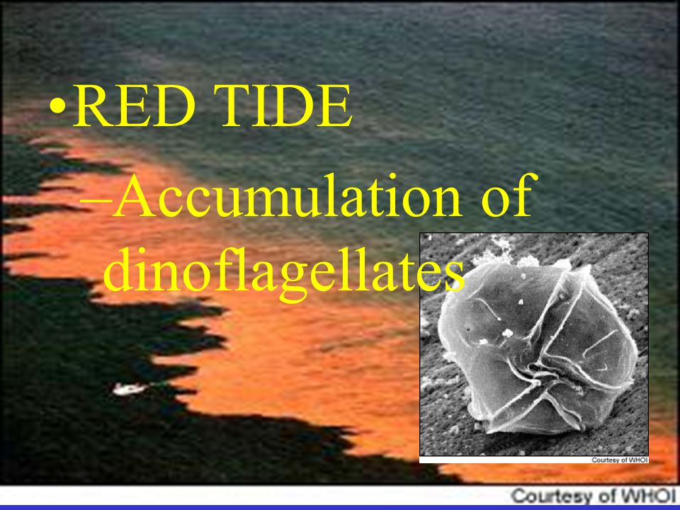 RED TIDE –Accumulation of dinoflagellates