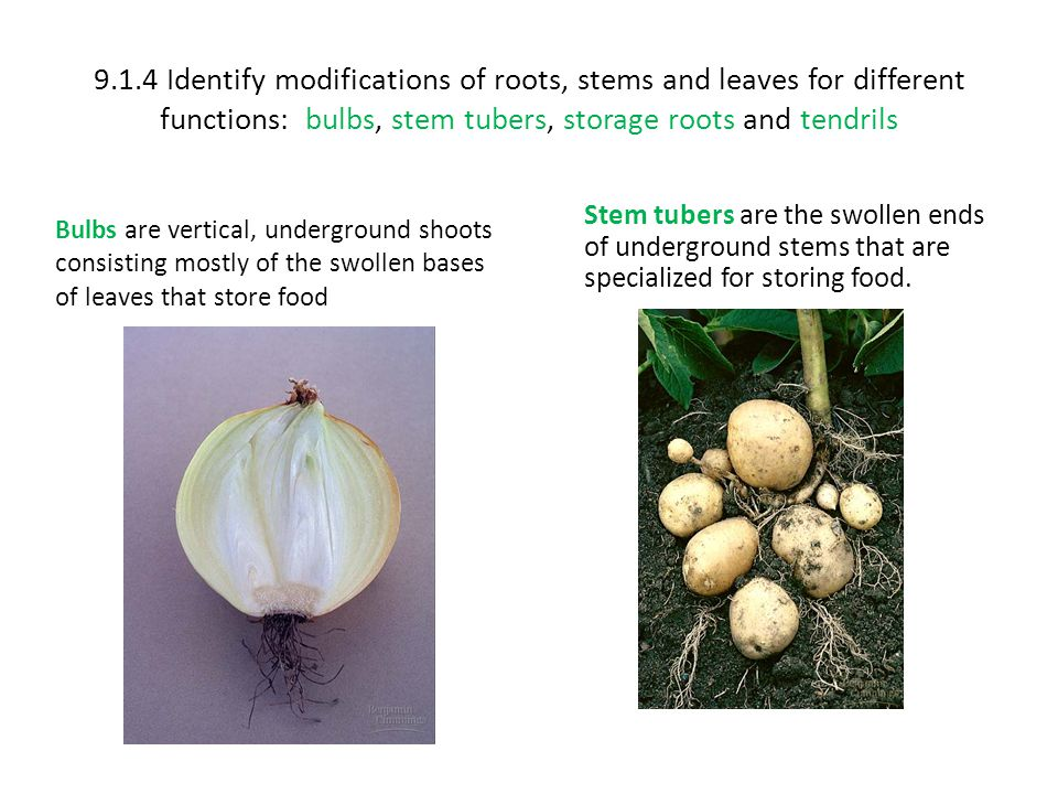 9.1.4 Identify modifications of roots, stems and leaves for different functions: bulbs, stem tubers, storage roots and tendrils Bulbs are vertical, un