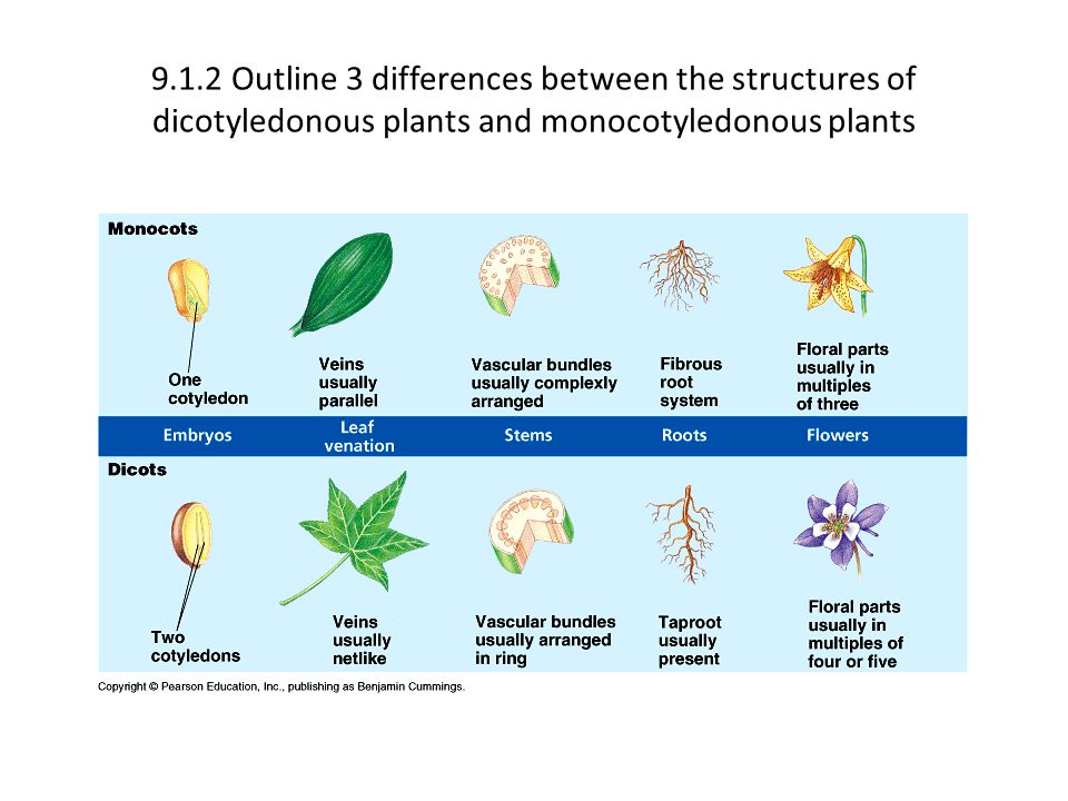 9.1.2 Outline 3 differences between the structures of dicotyledonous plants and monocotyledonous plants